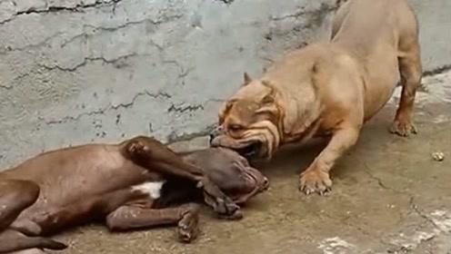 比特犬使诈装晕倒,不幸被恶霸识破,原来战神比特犬也有怂的时候!