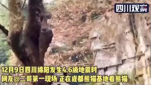 绵阳安州地震 成都熊猫基地滚滚瞬间飞奔上树