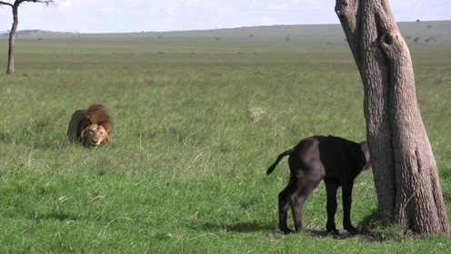 小牛在树下等妈妈,没想到等来的却是狮子的攻击,令人心酸