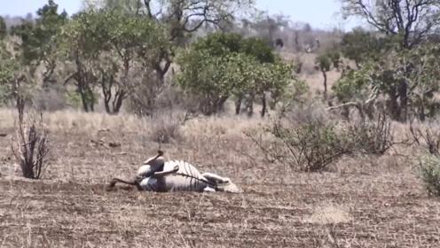 斑马即将生产,倒在地上不停挣扎,此时一只雄狮过来了