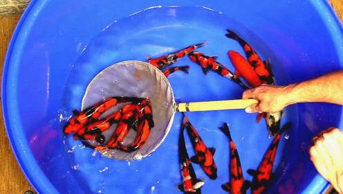 邻居刚买来的锦鲤鱼苗,各个活蹦乱跳,养大之后那就是值钱的大货