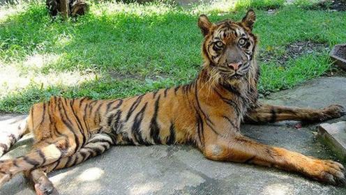 """世界最""""残忍""""动物园,动物们吃一餐饿一餐,老虎都瘦成了这样!"""