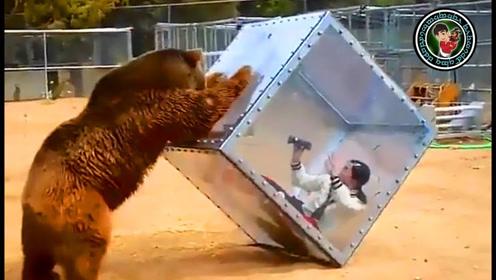 太作死了!男子以为有防护就嚣张放肆调戏棕熊,结果下一幕太恐怖