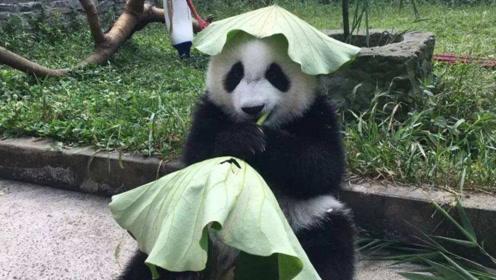 """熊猫头顶一个""""绿帽子""""臭美,饲养员非常无奈:给国宝丢脸了!"""