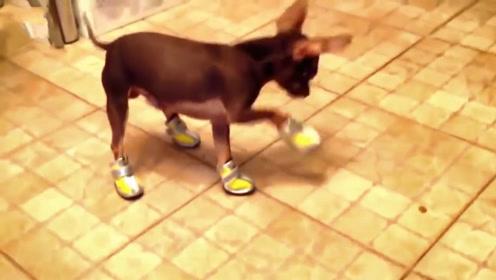 主人为狗狗穿上雪地靴,狗狗都不会走路了,场面让人哭笑不得