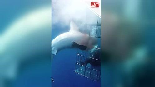 珍稀大白鲨被困潜水笼苦苦挣扎25分钟 游客眼睁睁看其失血而亡