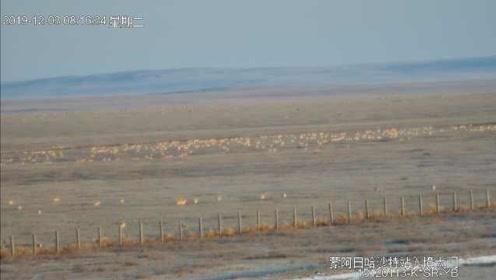 蒙古国大雪,6千只黄羊入境我国避寒