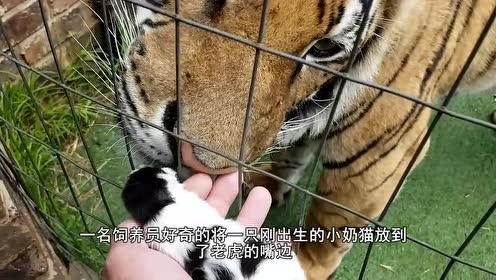 猫咪掉进老虎园,不料一只老虎走过来,下一秒憋住别笑