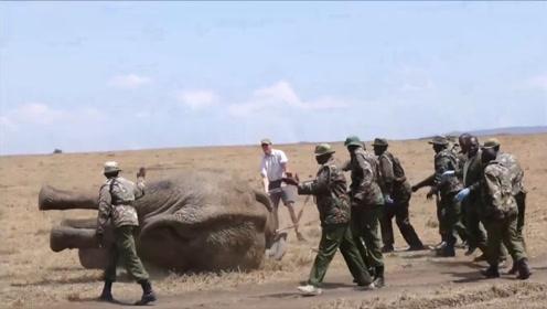一头大象步履蹒跚走在草原上,众人上前一查看,立刻将它推倒