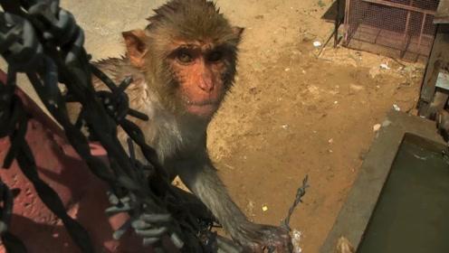 小猴子恐高不敢跳水,彪悍猴妈一脚踢下,网友懵:这是亲生的崽?