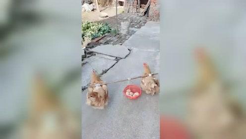 早上好,有没有需要鸡蛋的,我家鸡可以送货上门!