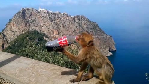游客给猴子一瓶可乐,猴子喝得简直停不下来,太可爱了吧