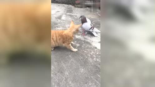 这只鸽子的胆子真大!把猫咪打的直接投降!