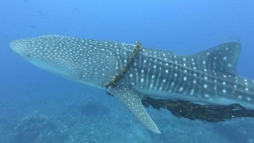 鲸鱼被绳子缠住伤痕累累,遇到潜水员救援表现超乖,一起见识下