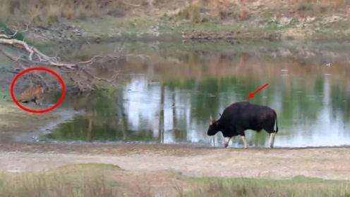 野牛在河边喝水,抬头发现一只老虎,竟然发疯般冲向老虎