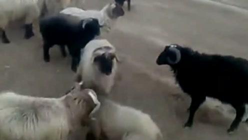 黑羊:本是同根生,相煎何太急!