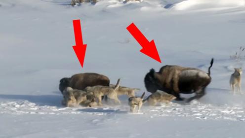 """野牛正在逃避狼群追杀,下一秒被同伴实力""""坑死"""",死难瞑目!"""
