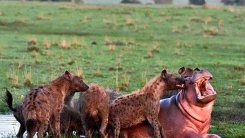 鬣狗智取5吨重河马,一招下去河马再站不起来,镜头记录全过程!