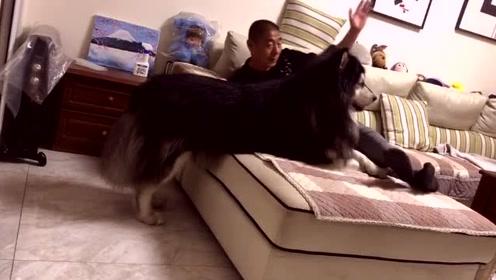 有的老爸表面不让养狗,背地里和狗狗玩的开心