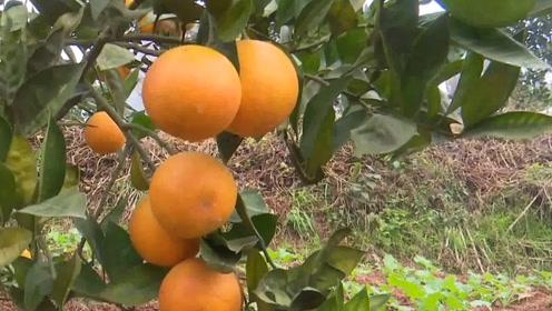 宜宾江安:到2025年,全县晚熟柑橘总产值预计达60亿元