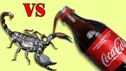 把蝎子放进可乐里,蝎子会有什么反应?结果太搞笑了!