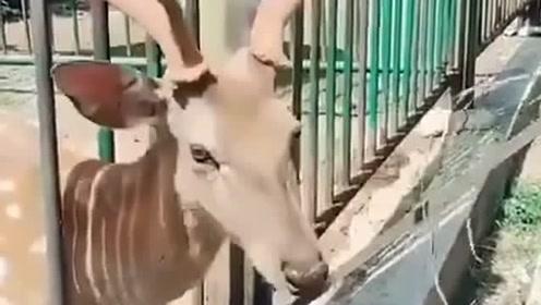 好聪明的小鹿,这大鹿角要是长哈士奇头上,它能在这里卡一辈子!