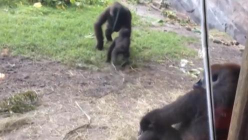 小猩猩挑衅大猩猩被教训,它却向爸爸告状,果然是被惯坏了