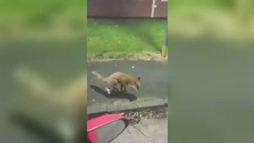 谁都喝不成!狐狸偷喝啤酒被驱赶 愤而朝啤酒杯撒尿