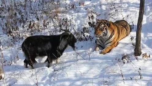 """认老虎做""""大哥""""的山羊死了,网友:别难过,回头再帮你找一只!"""
