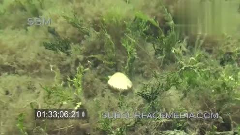原来扇贝是这样游泳的,好有魔性啊扇贝,我们走!