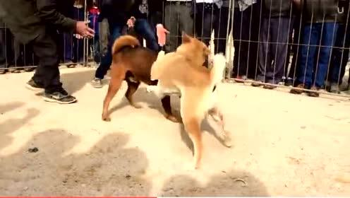 真实斗狗现场,好想把狗狗抱出来,太残忍了