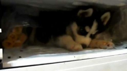 把小哈士奇放进冰箱让它感受凉爽,没想到这位小爷还呆美了,死活不想出来……