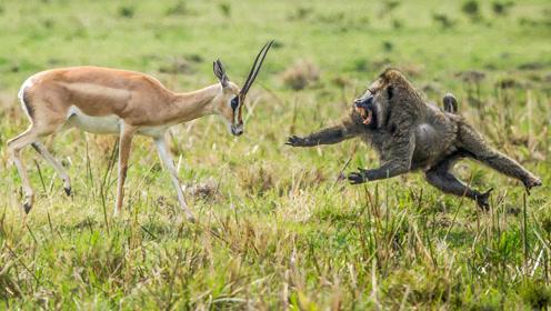 羚羊把狒狒当成朋友,狒狒却拿它们来填饱肚子