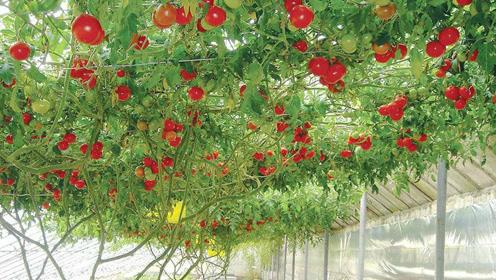 奈树香儿_青岛农业观光园番茄又甜又香蓬勃如树,小萝卜更是任你自由采摘