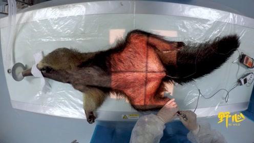 凭借半米长的舌头,食蚁兽成功抢到了全动物园的焦点