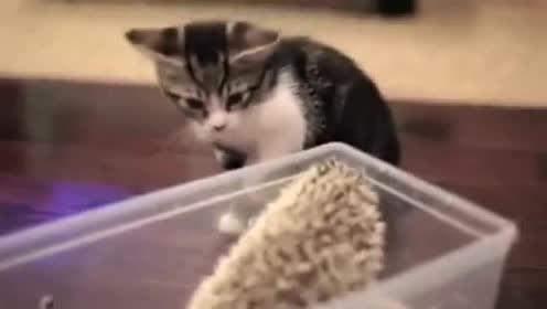 小猫遇上刺猬之后