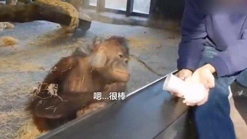 小哥给猩猩表演魔术 猩猩:我很尽力在配合表演了