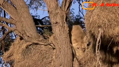 狮子和豹子抓迷藏,还好躲了一个好地方才保住一命