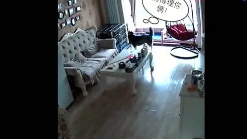 监控拍下哈士奇在家一幕,难怪女主气的要狗肉煮粉