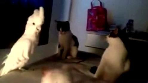 鹦鹉在喵星人面前学猫叫,众喵瞬间懵逼了!
