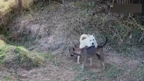 黑狗一进去!白狗出不去!