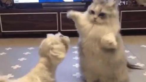 这个喵咪也太可爱了吧,嘤嘤嘤站起来打拳