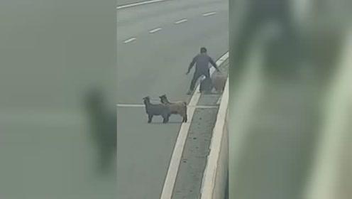 """4只羊越网上高速 过路司机竟冒险停车""""顺手牵羊"""""""