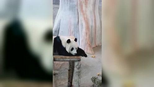 身在异乡的熊猫宝宝