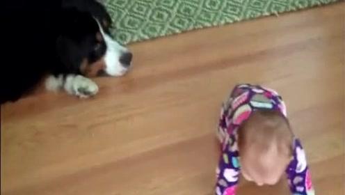 萌宝练习爬行时,被狗狗给撞倒的反应,太逗了