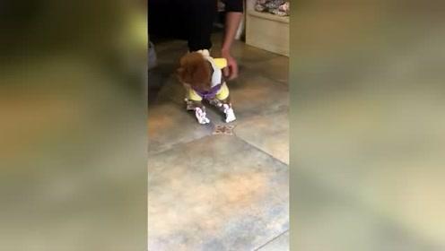 给泰迪穿上小鞋,它好像以为自己骨折了,竟连路也不会走了!