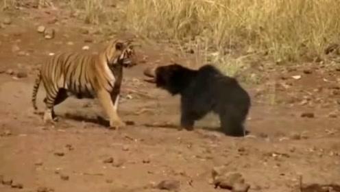 老虎和狗熊的生死对决,佩服狗熊的勇气!