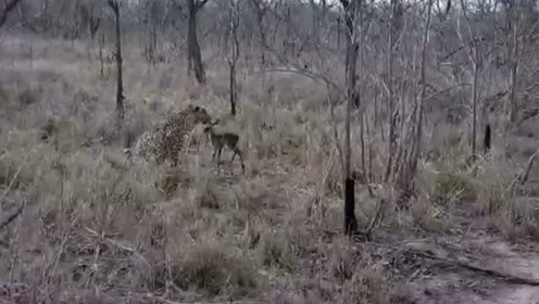 将猎豹当妈妈 小羚羊舔2分钟回神逃跑命丧豹口