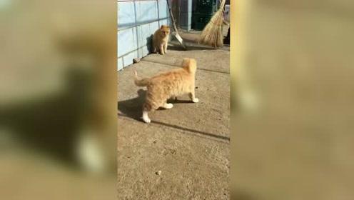 老鼠见了猫不是应该跑吗,这只老鼠一点都不怕,什么情况?