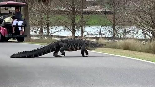 巨大的鳄鱼在社区马路上漫步
